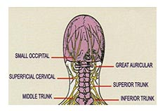 Head Nerves